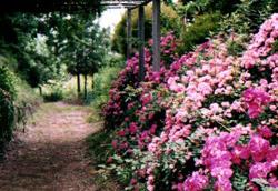 jardin_anglais_roses(1)