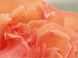 petale_rose_gp2
